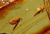 http://mczbase.mcz.harvard.edu/specimen_images/entomology/paleo/large/PALE-8414_Sciaridae.jpg