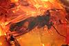 http://mczbase.mcz.harvard.edu/specimen_images/entomology/paleo/large/PALE-8416_Mycetophilidae.jpg