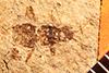 http://mczbase.mcz.harvard.edu/specimen_images/entomology/paleo/large/PALE-841_Rhepocoris_propinquans_type.jpg