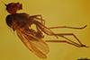 http://mczbase.mcz.harvard.edu/specimen_images/entomology/paleo/large/PALE-8423_Dolichopodidae.jpg