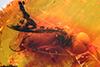 http://mczbase.mcz.harvard.edu/specimen_images/entomology/paleo/large/PALE-8478_Syrphidae.jpg
