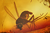 http://mczbase.mcz.harvard.edu/specimen_images/entomology/paleo/large/PALE-8502_syn1_Dolichopodidae.jpg