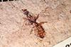 http://mczbase.mcz.harvard.edu/specimen_images/entomology/paleo/large/PALE-8512_Protazteca_elongata.jpg
