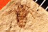 http://mczbase.mcz.harvard.edu/specimen_images/entomology/paleo/large/PALE-865_Stenovelia_nigra_type.jpg