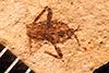 http://mczbase.mcz.harvard.edu/specimen_images/entomology/paleo/large/PALE-869_Stenovelia_nigra_type.jpg