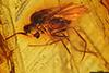 http://mczbase.mcz.harvard.edu/specimen_images/entomology/paleo/large/PALE-8809_Dolichopodidae.jpg