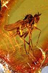 http://mczbase.mcz.harvard.edu/specimen_images/entomology/paleo/large/PALE-8823_Dolichopodidae.jpg