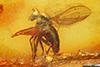 http://mczbase.mcz.harvard.edu/specimen_images/entomology/paleo/large/PALE-8828_Palaeomedeterus_sp.jpg