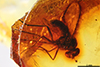 http://mczbase.mcz.harvard.edu/specimen_images/entomology/paleo/large/PALE-8829_Dolichopodidae.jpg