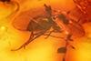http://mczbase.mcz.harvard.edu/specimen_images/entomology/paleo/large/PALE-8844_Dolichopodidae.jpg