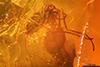 http://mczbase.mcz.harvard.edu/specimen_images/entomology/paleo/large/PALE-8857_Cecidomyiidae.jpg