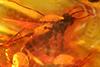 http://mczbase.mcz.harvard.edu/specimen_images/entomology/paleo/large/PALE-8865_syn1_Mycetophilidae.jpg