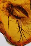 http://mczbase.mcz.harvard.edu/specimen_images/entomology/paleo/large/PALE-8873_Mycetophilidae.jpg