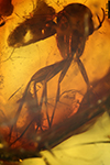 http://mczbase.mcz.harvard.edu/specimen_images/entomology/paleo/large/PALE-8875_Mycetophilidae.jpg