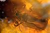 http://mczbase.mcz.harvard.edu/specimen_images/entomology/paleo/large/PALE-8877_Chironomidae.jpg
