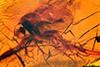 http://mczbase.mcz.harvard.edu/specimen_images/entomology/paleo/large/PALE-8885_Mycetophilidae.jpg
