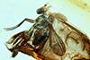 http://mczbase.mcz.harvard.edu/specimen_images/entomology/paleo/large/PALE-8886_Dolichopodidae.jpg