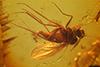 http://mczbase.mcz.harvard.edu/specimen_images/entomology/paleo/large/PALE-8889_Dolichopodidae.jpg