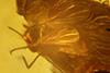 http://mczbase.mcz.harvard.edu/specimen_images/entomology/paleo/large/PALE-8907_Ceratopogonidae_2.jpg