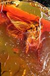 http://mczbase.mcz.harvard.edu/specimen_images/entomology/paleo/large/PALE-8911_Mycetophilidae.jpg
