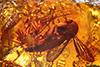 http://mczbase.mcz.harvard.edu/specimen_images/entomology/paleo/large/PALE-8914_Mycetophilidae.jpg
