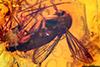 http://mczbase.mcz.harvard.edu/specimen_images/entomology/paleo/large/PALE-8914_syn1_Mycetophilidae.jpg