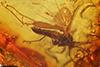 http://mczbase.mcz.harvard.edu/specimen_images/entomology/paleo/large/PALE-8920_Mycetophilidae.jpg