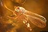 http://mczbase.mcz.harvard.edu/specimen_images/entomology/paleo/large/PALE-8921_Chironomidae.jpg