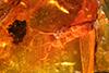 http://mczbase.mcz.harvard.edu/specimen_images/entomology/paleo/large/PALE-8925_Chironomoidea.jpg