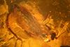 http://mczbase.mcz.harvard.edu/specimen_images/entomology/paleo/large/PALE-8929_Ceratopogonidae.jpg