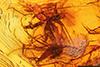 http://mczbase.mcz.harvard.edu/specimen_images/entomology/paleo/large/PALE-8933_Chironomidae.jpg