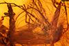 http://mczbase.mcz.harvard.edu/specimen_images/entomology/paleo/large/PALE-8933_syn1_Chironomidae.jpg