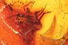 http://mczbase.mcz.harvard.edu/specimen_images/entomology/paleo/large/PALE-8935_Mycetophilidae_2.jpg