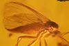 http://mczbase.mcz.harvard.edu/specimen_images/entomology/paleo/large/PALE-8936_syn1_Sciaridae.jpg
