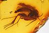 http://mczbase.mcz.harvard.edu/specimen_images/entomology/paleo/large/PALE-8941_Mycetophilidae.jpg