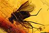http://mczbase.mcz.harvard.edu/specimen_images/entomology/paleo/large/PALE-8943_Dolichopodidae.jpg