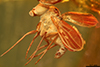 http://mczbase.mcz.harvard.edu/specimen_images/entomology/paleo/large/PALE-8946_Dolichopodidae.jpg