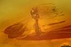 http://mczbase.mcz.harvard.edu/specimen_images/entomology/paleo/large/PALE-8958_Cecidomyiidae.jpg