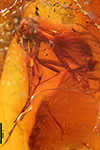 http://mczbase.mcz.harvard.edu/specimen_images/entomology/paleo/large/PALE-8961_Mycetophilidae.jpg