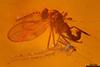 http://mczbase.mcz.harvard.edu/specimen_images/entomology/paleo/large/PALE-8970_Cecidomyiidae.jpg