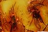 http://mczbase.mcz.harvard.edu/specimen_images/entomology/paleo/large/PALE-8971_Dolichopodidae.jpg