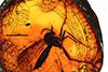 http://mczbase.mcz.harvard.edu/specimen_images/entomology/paleo/large/PALE-8974_Mycetophilidae.jpg