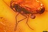 http://mczbase.mcz.harvard.edu/specimen_images/entomology/paleo/large/PALE-8977_Sciaridae.jpg