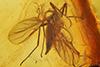 http://mczbase.mcz.harvard.edu/specimen_images/entomology/paleo/large/PALE-8982_Sciaroidea.jpg