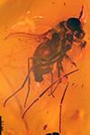 http://mczbase.mcz.harvard.edu/specimen_images/entomology/paleo/large/PALE-8988_Dolichopodidae.jpg