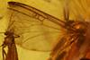 http://mczbase.mcz.harvard.edu/specimen_images/entomology/paleo/large/PALE-8994_syn1_Mycetophilidae.jpg