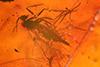 http://mczbase.mcz.harvard.edu/specimen_images/entomology/paleo/large/PALE-8996_Ceratopogonidae_qm.jpg