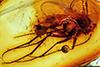 http://mczbase.mcz.harvard.edu/specimen_images/entomology/paleo/large/PALE-8998_Mycetophilidae.jpg