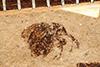 http://mczbase.mcz.harvard.edu/specimen_images/entomology/paleo/large/PALE-8_Auletes_wymani_type.jpg