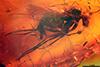 http://mczbase.mcz.harvard.edu/specimen_images/entomology/paleo/large/PALE-9005_Dolichopodidae.jpg